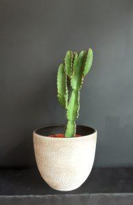 Cactus planta.